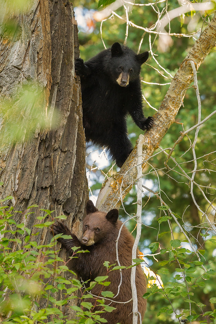 Two_Black_Bear_Cubs_Tree_insta.jpg