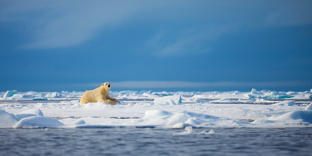 A polar bear rests on the Arctic sea ice under a clear blue sky. Photographed by Chase Dekker.