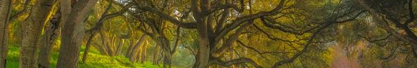Growing Oak