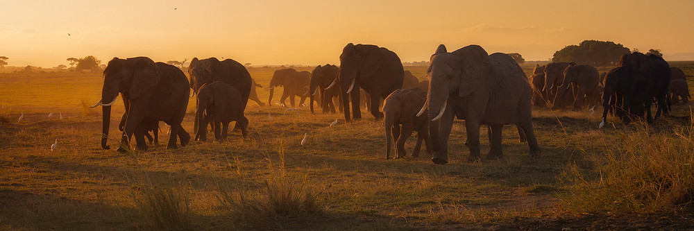 A herd of elephants migrates to the acacia forest in the glow of sunset. Photographed by Chase Dekker.