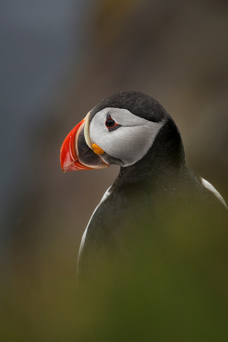 A puffin poses for a photo in stark detail during Chase Dekker's Iceland photography workshop.