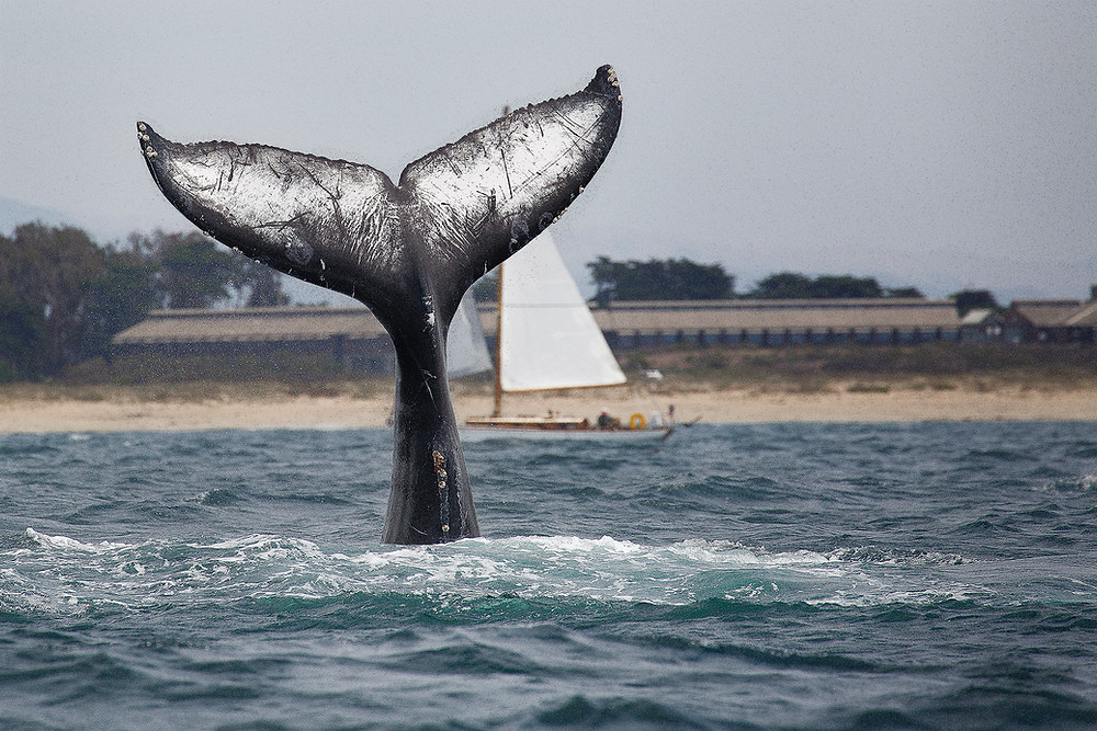 A humpback whale dives showing it's enormous fluke in Monterey Bay. Photographed by Chase Dekker.