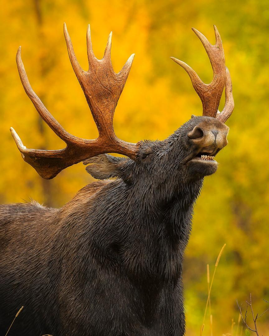 Bull_Moose_Pheromones_Sniff_insta.jpg