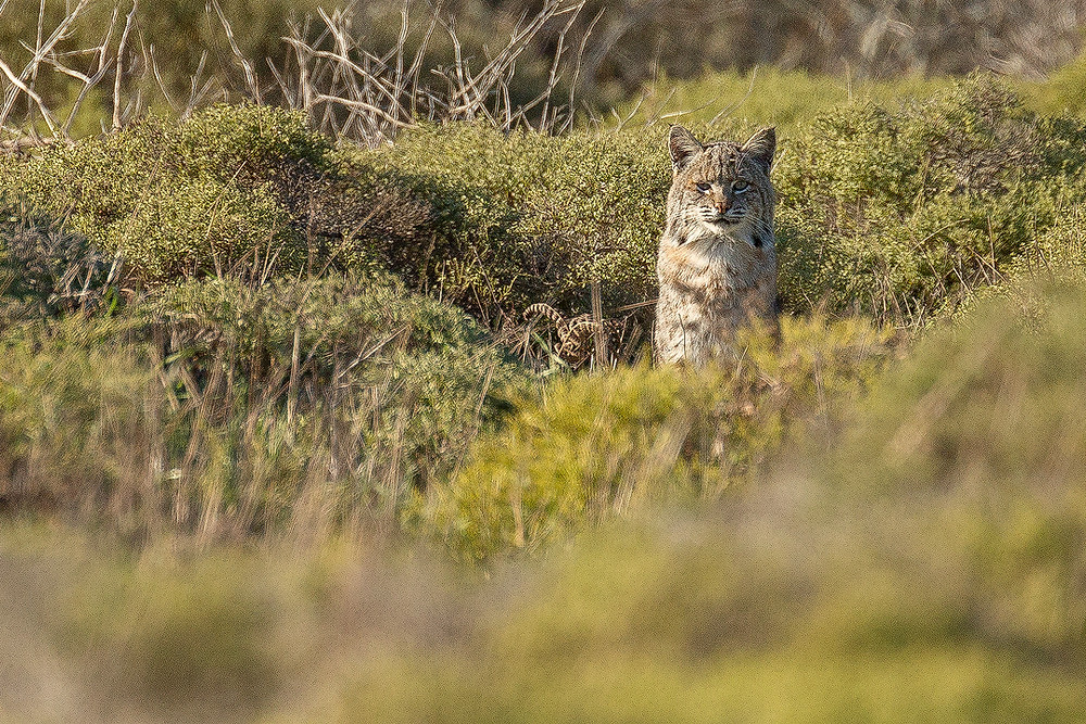 A bobcat watches from a distance in the brush of Point Reyes National Seashore. Photographed by Chase Dekker.