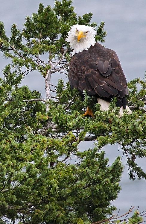 Eagle's Mane