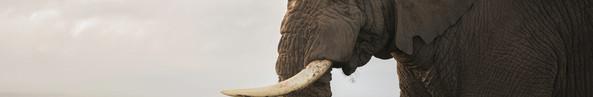 Amboseli Giant