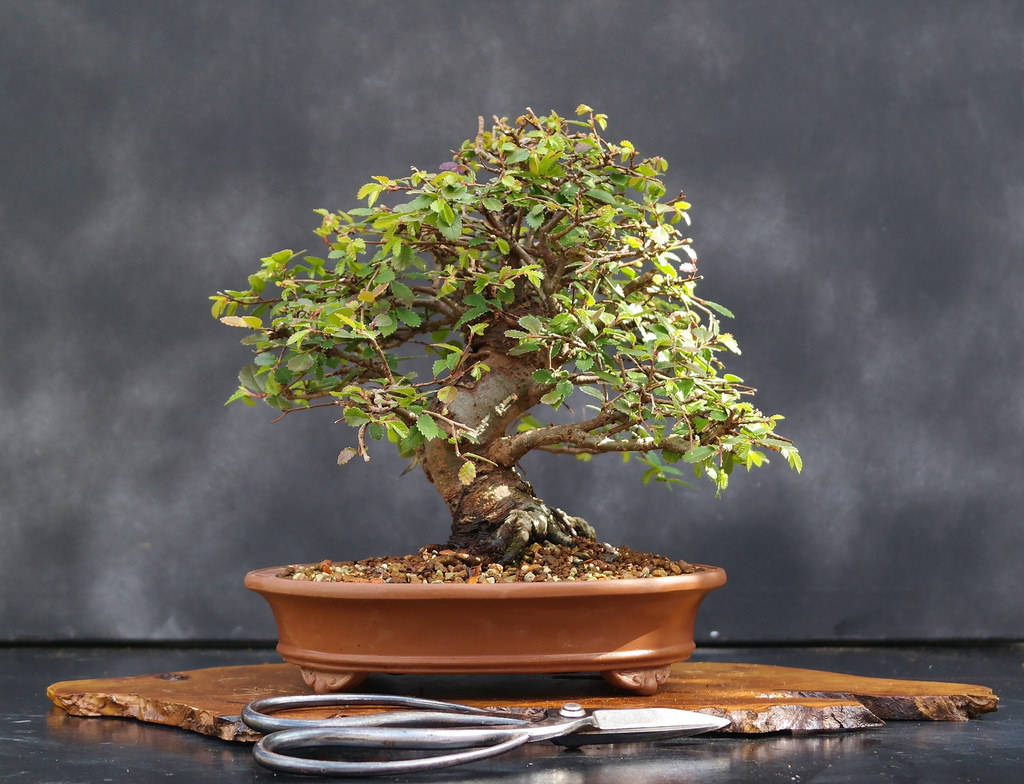 Chinese Elm Bonsai Care Guide Nates Nursery Wiring