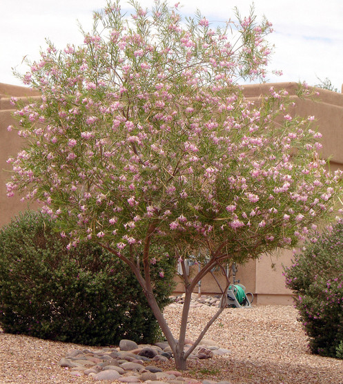 Desert Willow Chilopsis Linearis