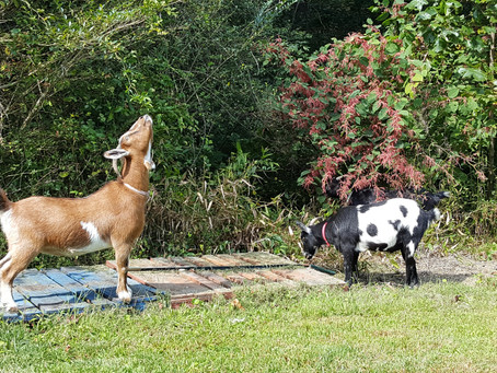 Goats, and other foolish things.