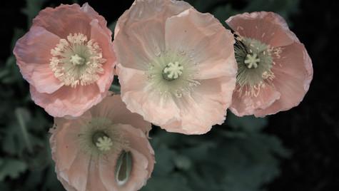 Pastel Poppies.jpg