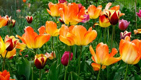 Tulips_RI.jpg