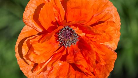 Orange Poppy (1 of 1).jpg