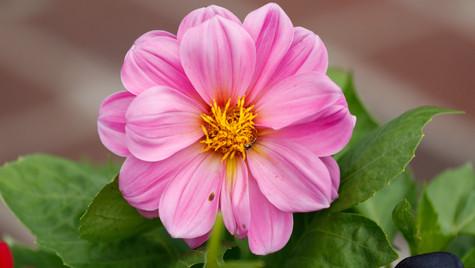 Pink Dahlia (1 of 1).jpg