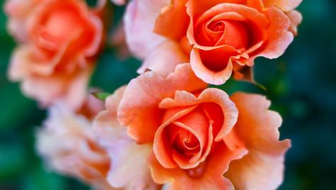 Orange roses SF.jpg