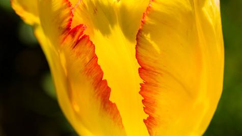 Yellow Tulip (1 of 1).jpg