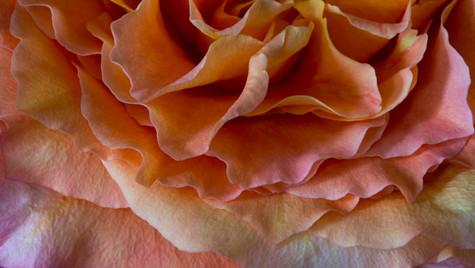 Color Rose (1 of 1).jpg