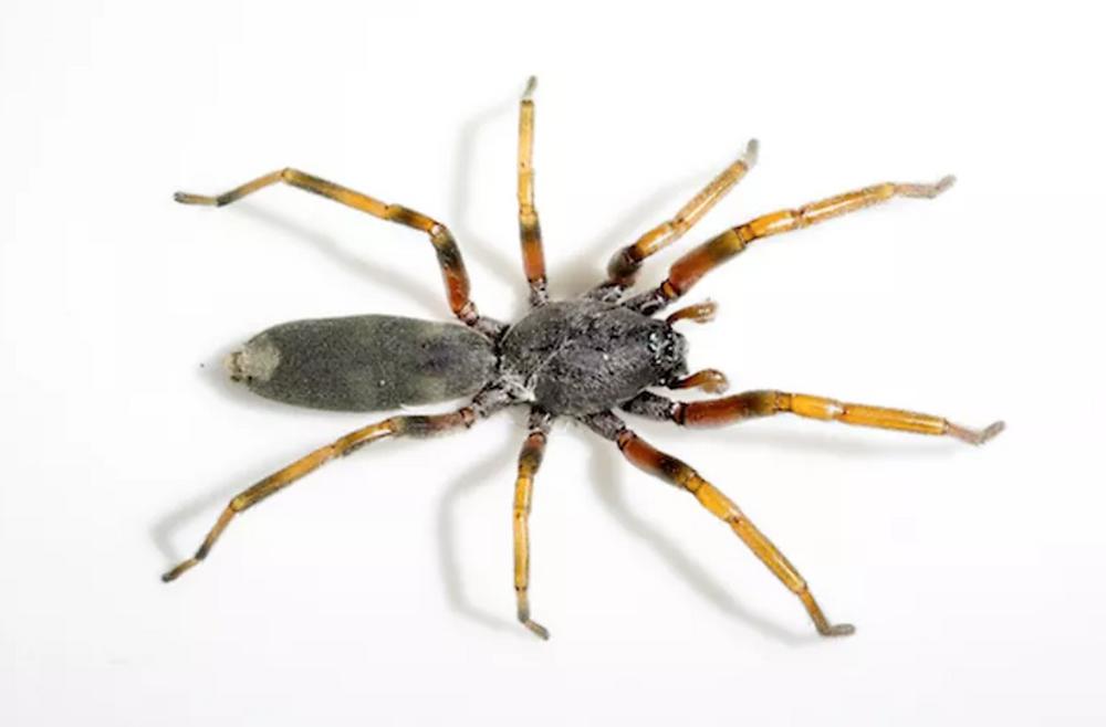 White-tail spider