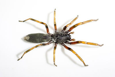 White tailed spider
