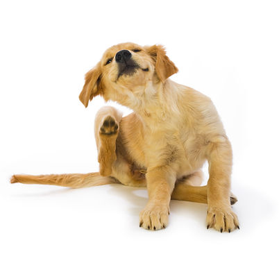 Puppy with fleas scratching