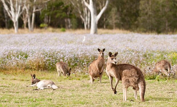 Kangaroo_landscape.jpg