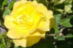 Anne D - Mother's rose.jpg