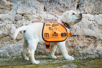 Budoucí vodicí pes - zatím v předvýchově