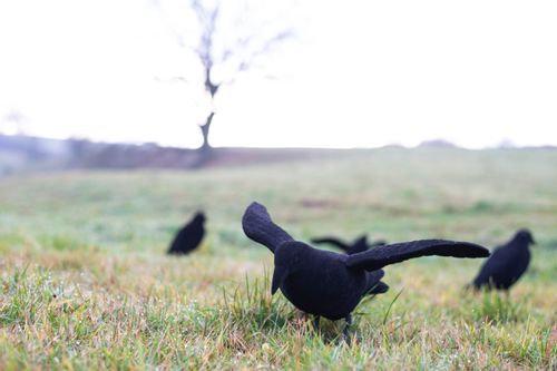 Geflokte Kraai met vleugels