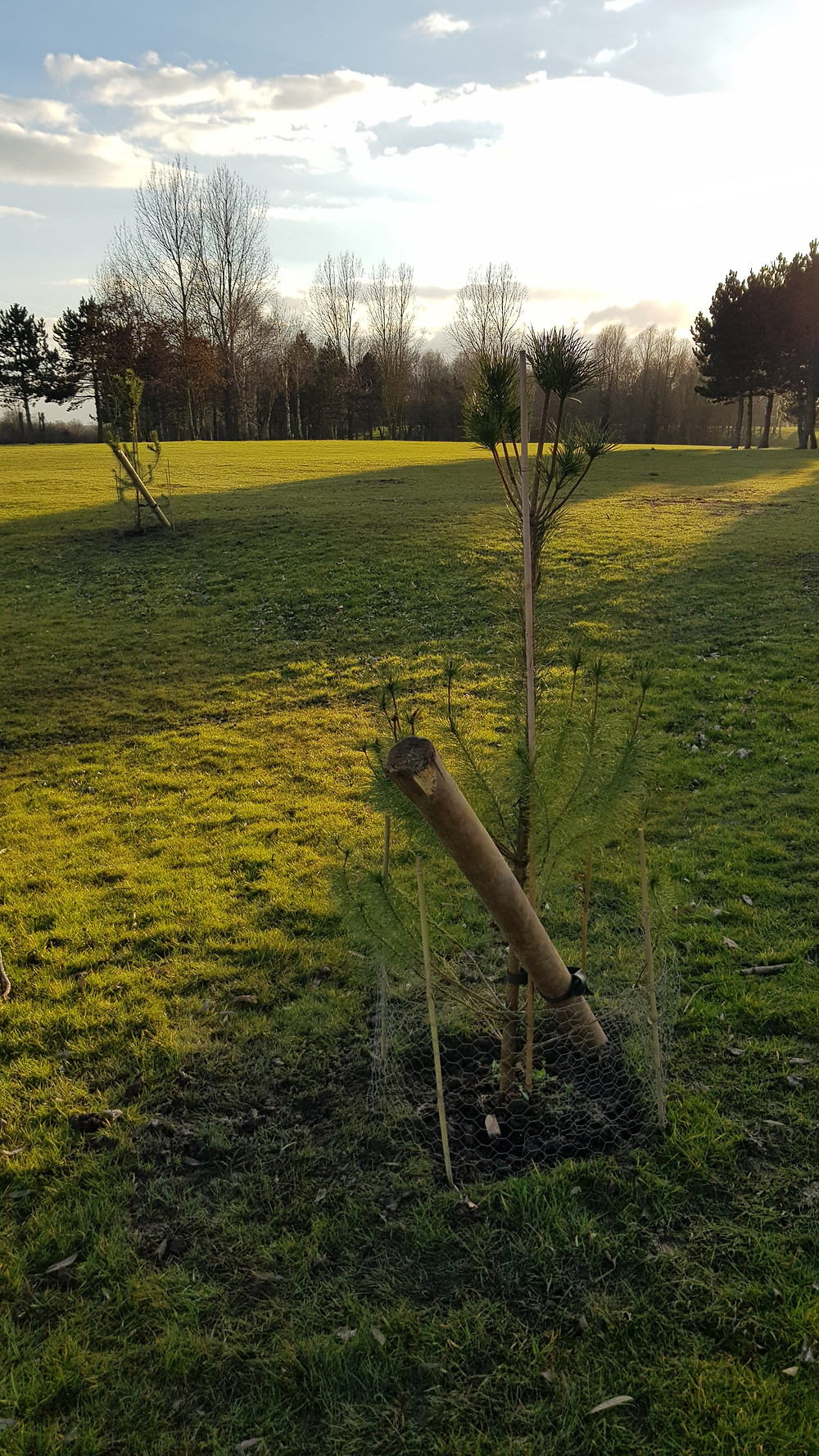 Scots Pines planted 2017
