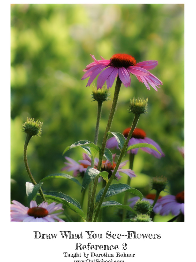 Purple Coneflowers - Color
