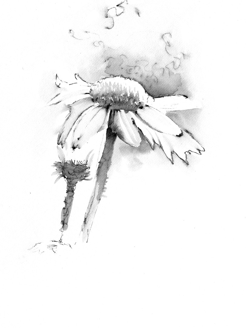 Cone Flower Drawing 2