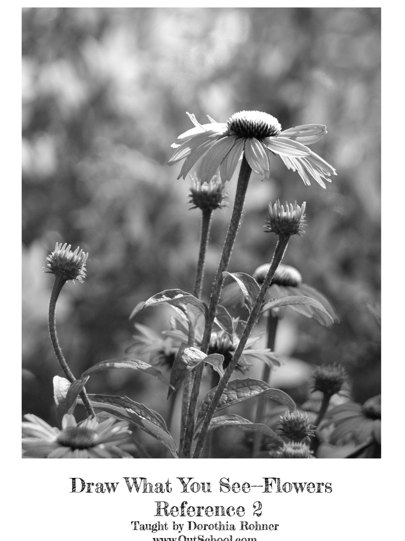 Purple Coneflower - BW