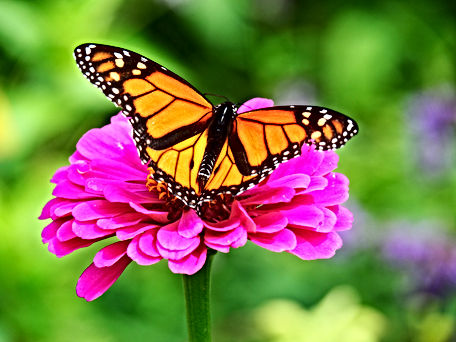 Beautiful butterfly sitting on a pink fl
