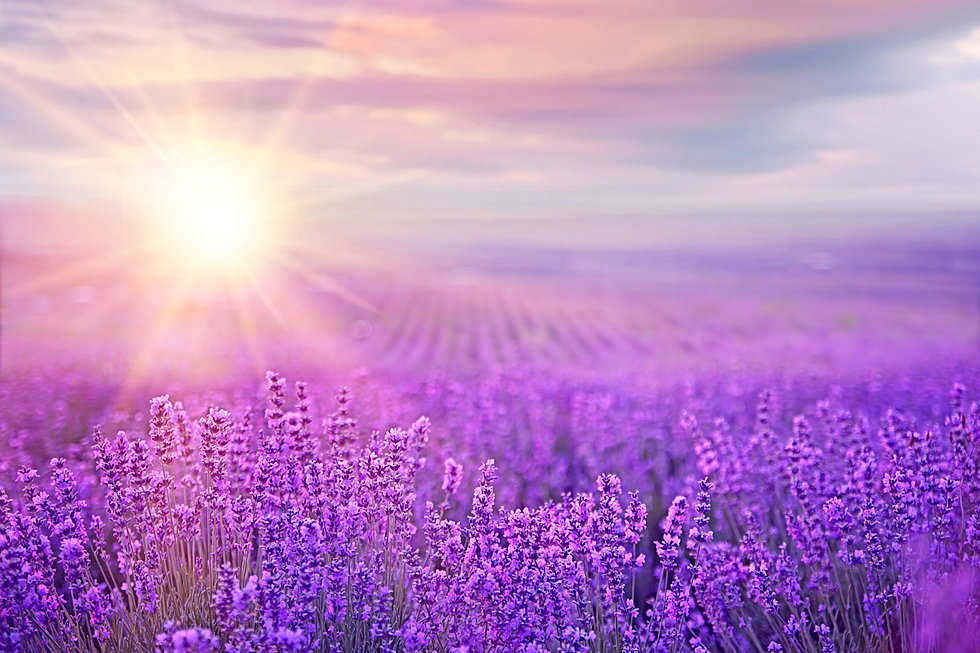 Sunset over a violet lavender field in P