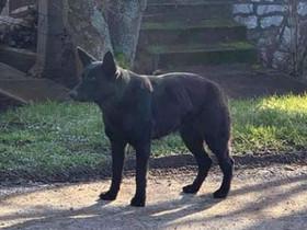 Edelényi fekete kutya