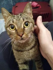 Csíkos cica