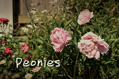 May-peonies-devon-eco-florist_low.06.jpg