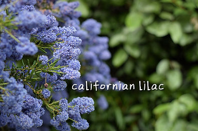 californianlilac.jpg