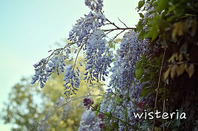 wisteria-wild-flowers-devon-wedding.jpg
