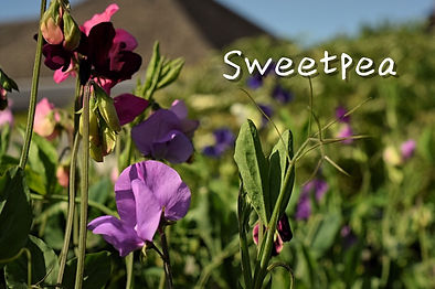 May-sweetpea-devon-flowers-eco_low.08.jp