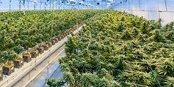 Cannabis%2520Facility%2520_edited_edited