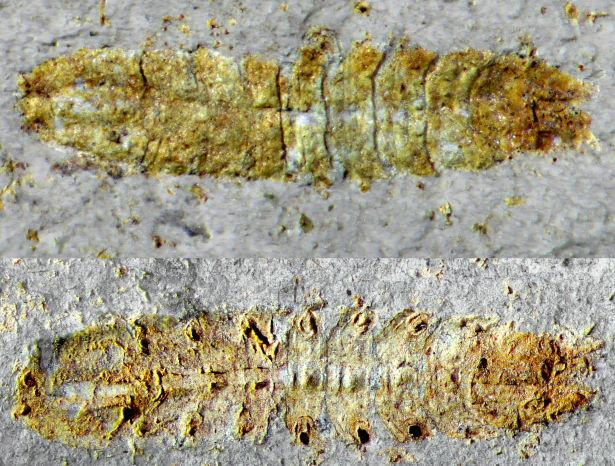 Stenetriidae sp.  (Asellota)