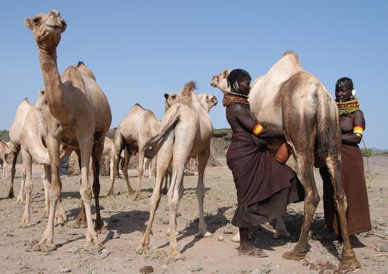 Turkana ladies milking their camels