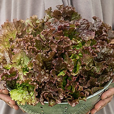 Lettuce, Red Sail