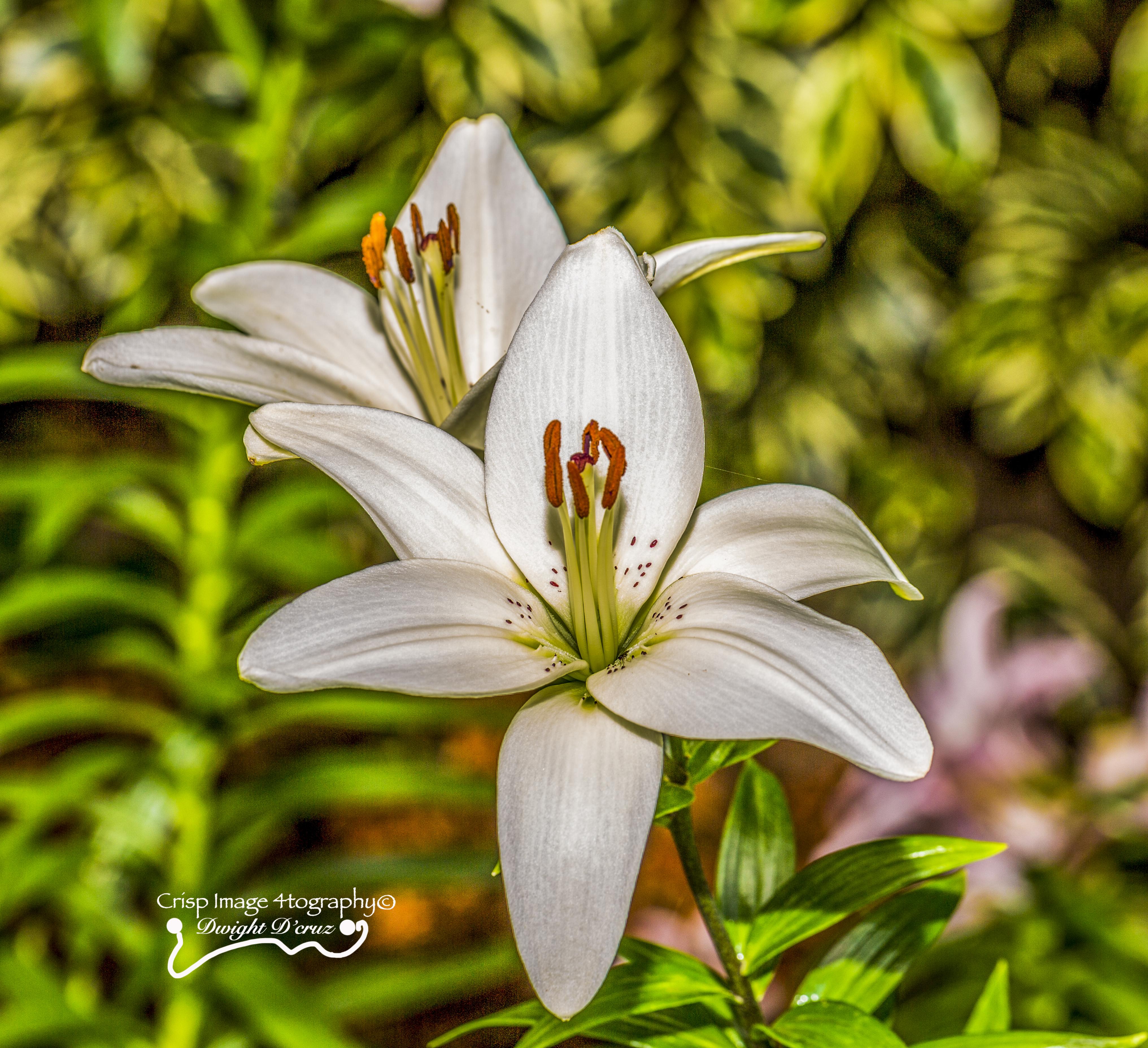 Mt Tomah Flowers