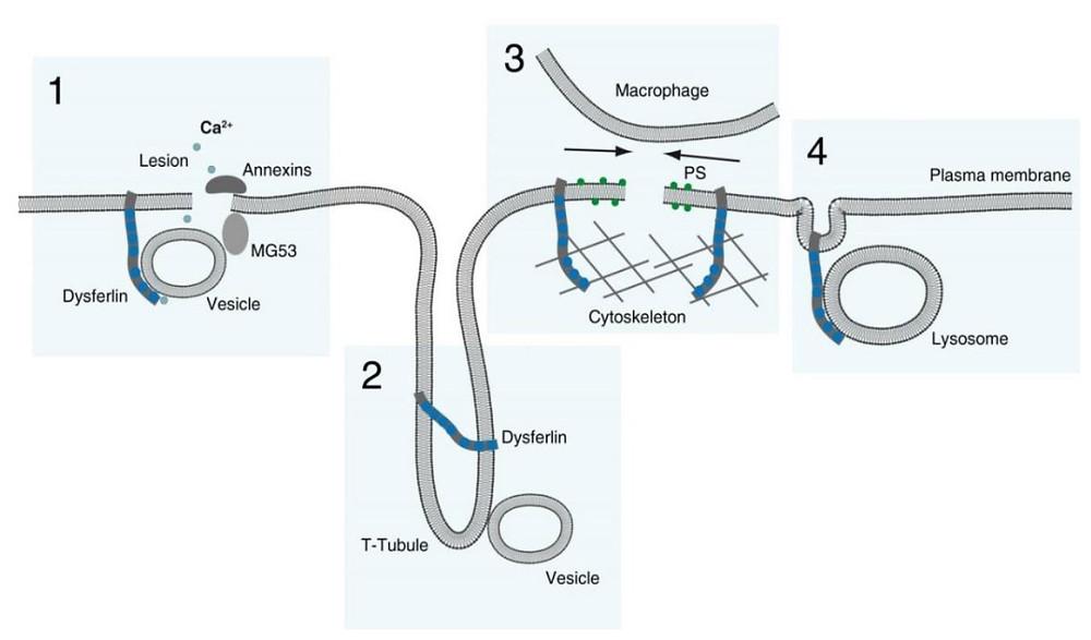 Dysferlin membrane repair t-tubule system