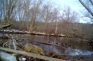 Coyote crossing the log jam on the St. George River