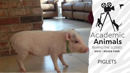 Academic Animals   Behind the Scenes - Piglets