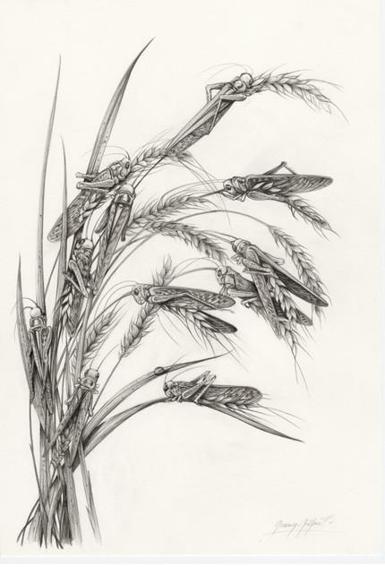 L'illussion des blés