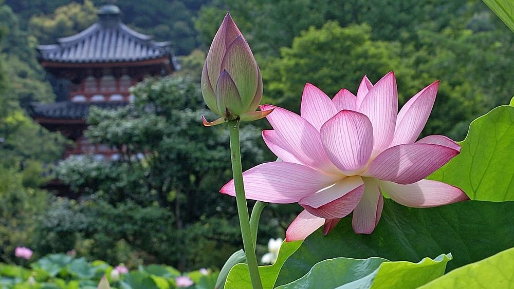 Flor de loto - símbolo de renacimiento