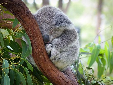 Cute Sleeping Baby Koala Bear in Queensl